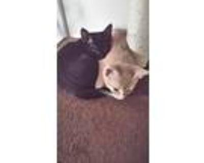 Adopt Bellatrix a All Black American Shorthair / Mixed (short coat) cat in
