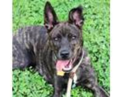 Adopt Johnny a Brindle Terrier (Unknown Type, Small) / Mixed dog in Atlanta