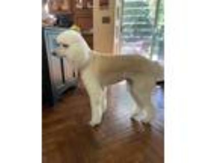 Adopt Thor C a Standard Poodle