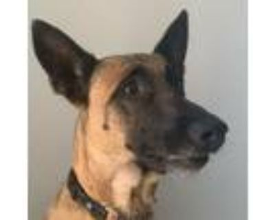 Adopt Coconut a Tan/Yellow/Fawn - with Black Belgian Malinois / Mixed dog in San