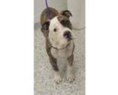 Adopt Prince Tandy a Pit Bull Terrier, Mixed Breed