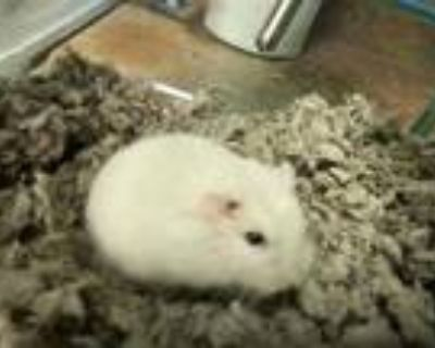 Adopt ATTICUS a Hamster