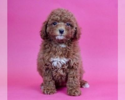 ADORABLE TOY POODLE PUPPIES FOR SALE