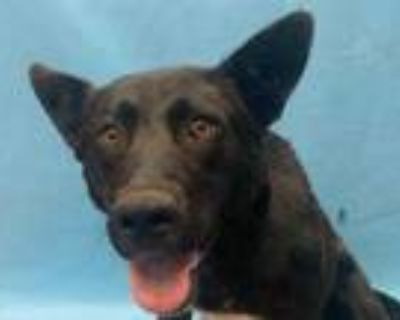 Adopt Isabelle a Black German Shepherd Dog / Mixed dog in Coon Rapids