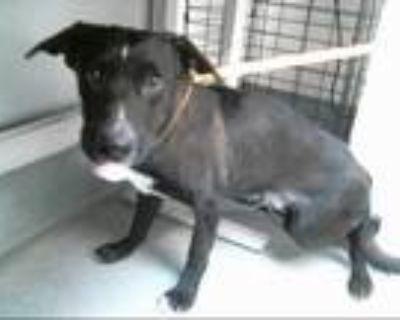 Adopt LUCKY a Black - with White Labrador Retriever / Mixed dog in Albuquerque