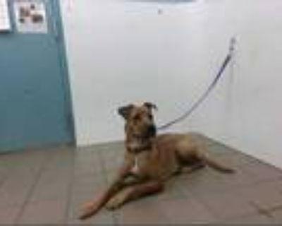 Adopt RUMBLE a Brown/Chocolate Labrador Retriever / Mixed dog in Albuquerque