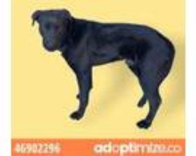 Adopt 46902296 a Black Labrador Retriever / Mixed dog in El Paso, TX (31520507)