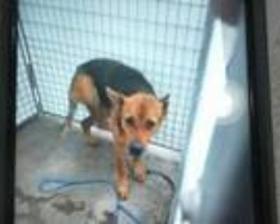Adopt STRAY a Brown/Chocolate - with Black German Shepherd Dog / Mixed dog in