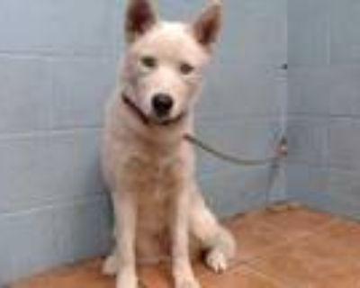 Adopt PEPPERMINT a Siberian Husky