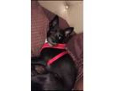 Adopt Royalty a Black - with White Cairn Terrier / Mixed dog in Wauwatosa