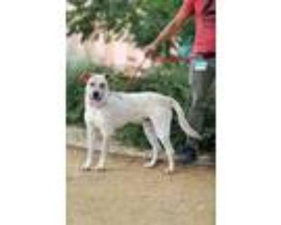 Adopt Apollo a Australian Cattle Dog / Blue Heeler, Labrador Retriever