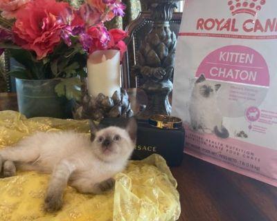 British Crossbreed Kitten