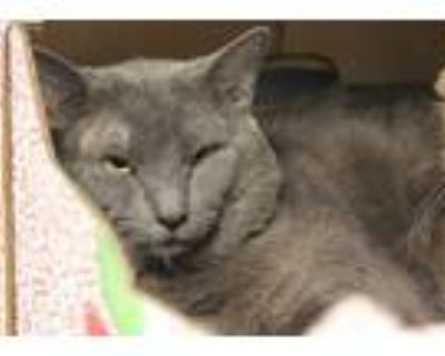 Adopt PRINCE a Gray or Blue Russian Blue / Mixed (short coat) cat in Tucson