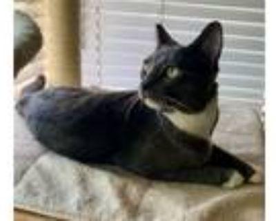 Adopt Kona a Gray or Blue (Mostly) Domestic Shorthair / Mixed (short coat) cat