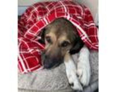 Adopt Hank a Hound, German Shepherd Dog