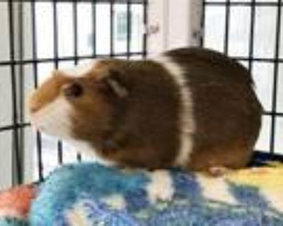 Adopt MADRE a Guinea Pig