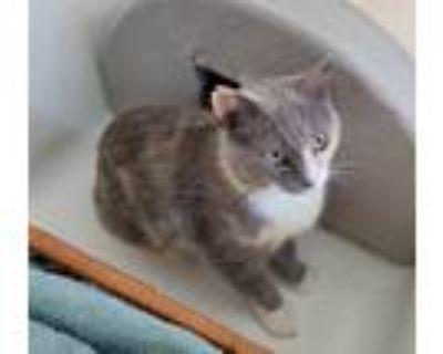 Adopt Pretty a Domestic Shorthair / Mixed cat in Acworth, GA (31664087)