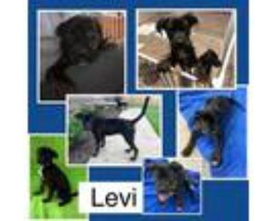 Adopt Levi a Black Labrador Retriever / Mixed dog in El Dorado, KS (31946617)