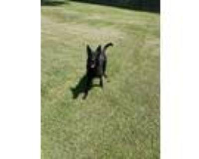 Adopt Kaiya a Black German Shepherd Dog / Mixed dog in Niagara Falls