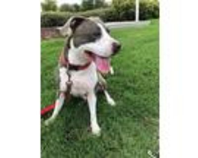 Diva, American Staffordshire Terrier For Adoption In Fort Worth, Texas