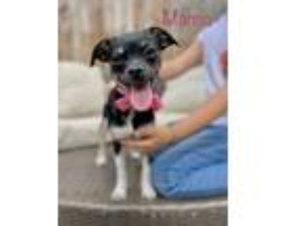 Adopt Marcia a Pug, Terrier