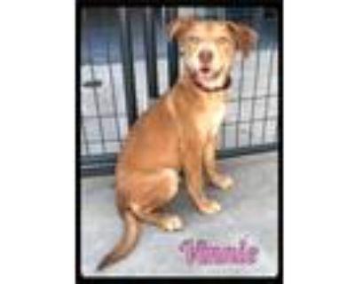 Adopt Vinnie - 2105144 / 2021 a Red/Golden/Orange/Chestnut Labrador Retriever /
