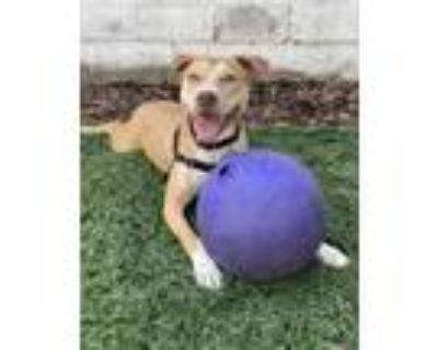 Adopt Bindi a Tan/Yellow/Fawn Labrador Retriever / American Pit Bull Terrier /