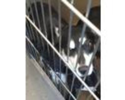 Adopt 48188672 a Black Husky / Mixed dog in Mesquite, TX (32073046)