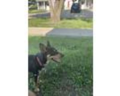 Adopt Rocko a Black - with Tan, Yellow or Fawn Beagle / Australian Cattle Dog /