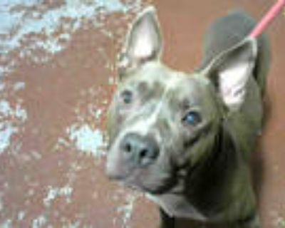 Adopt NOODLE a Gray/Silver/Salt & Pepper - with White American Pit Bull Terrier