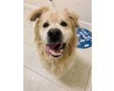Adopt Mojo a Golden Retriever / Chow Chow / Mixed dog in Fall River