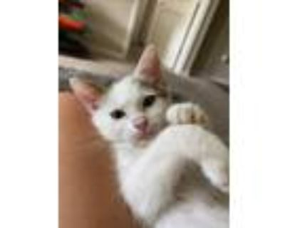 Adopt Angel a White (Mostly) Domestic Shorthair / Mixed (short coat) cat in