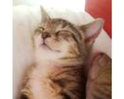 Adopt Punchies a Spotted Tabby/Leopard Spotted Bengal (short coat) cat in