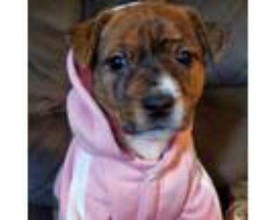 Adopt Rosaland Yoda a Australian Cattle Dog / Blue Heeler, Pit Bull Terrier