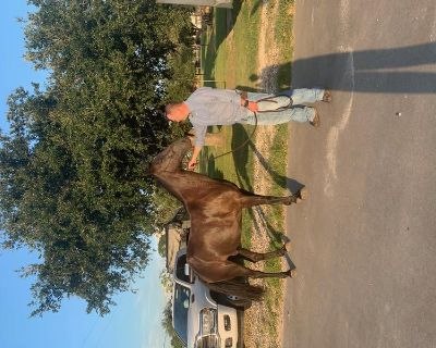 BIG SMOOTH Registered Tennessee Walking Horse!!!
