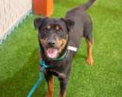 Adopt PLATO a Rottweiler, Australian Cattle Dog / Blue Heeler