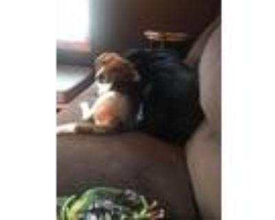 Adopt Winchester a Beagle