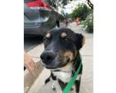 Adopt Wade a Black - with Tan, Yellow or Fawn Labrador Retriever / Shepherd