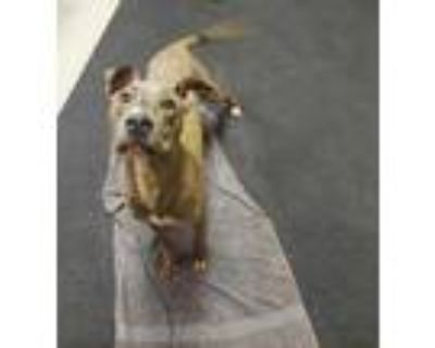 Adopt Wazowski a Brown/Chocolate American Pit Bull Terrier / Mixed dog in