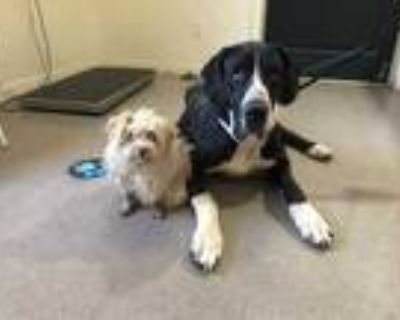 Adopt a Black - with White Great Dane / Mixed dog in Pasadena, CA (31685121)