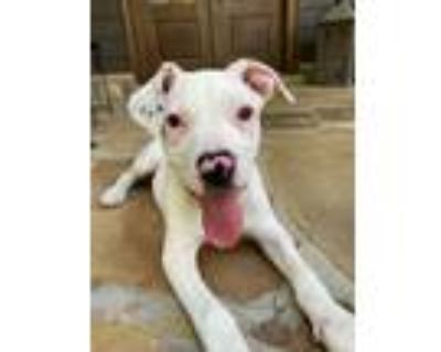 Adopt Haisley a White Boxer / Mixed dog in Roswell, GA (32047371)