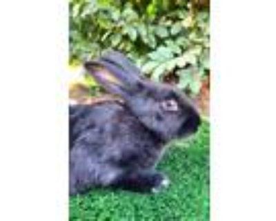 Adopt Minion a Black Havana / Mixed rabbit in Bakersfield, CA (30701980)