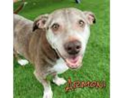 Adopt ARMONI a Brown/Chocolate - with White American Pit Bull Terrier / Labrador