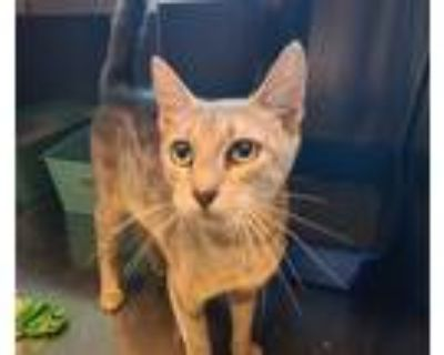 Adopt Cindy a Domestic Shorthair / Mixed cat in Golden, CO (32124647)