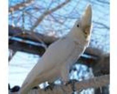 Adopt Sidney a Cockatoo