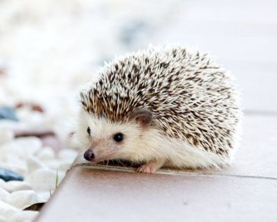 Hedgehog/Female 6 months
