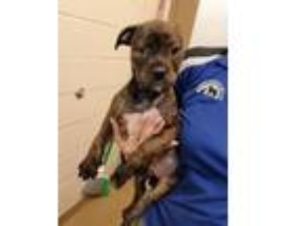 Adopt Lacey a Pit Bull Terrier, Rottweiler