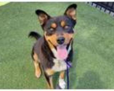Adopt HUCKLEBERRY FIN a Rottweiler, Mixed Breed