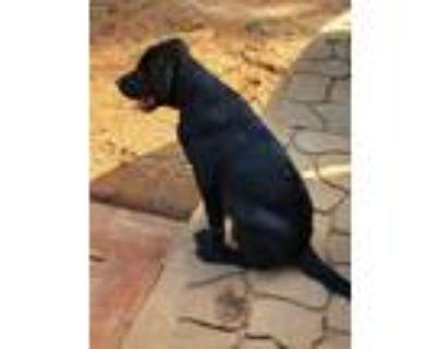 Adopt Mandy a Black Labrador Retriever / Mixed dog in Prince William County