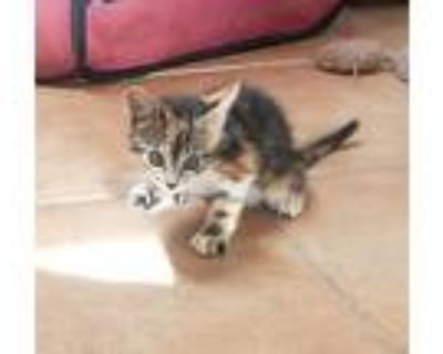 Marbles, Calico For Adoption In Yucca Valley, California